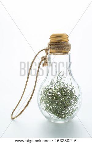 Tillansia usenoides L. in the bottle on white background