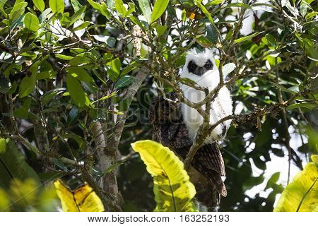 Madagascar Bird Long-eared Owl (asio Madagascariensis)
