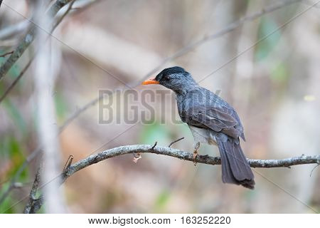 Malagasy bulbul (Hypsipetes madagascariensis) also known as the Madagascar bulbul is a species of songbird in the Pycnonotidae family. Ankarafantsika Madagascar wildlife and wilderness poster