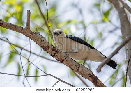 Endemic Bird White-headed Vanga Madagascar
