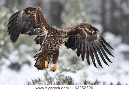 Eagle in flight. Bird of prey. Eagle landing. White-tailed eagle.