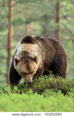 brown bear portrait in forest. big male brown bear.