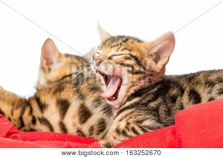 Beautiful Tabby Kitten Tired And Is Yawning