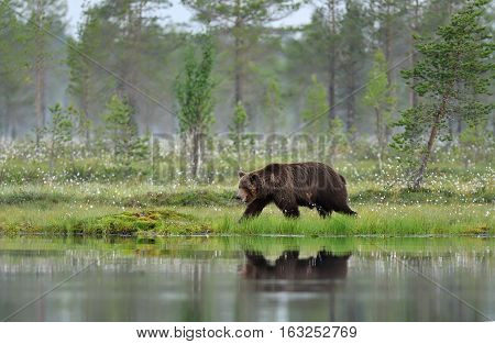 Brown bear walking early in the morning in a bog landscape at summer