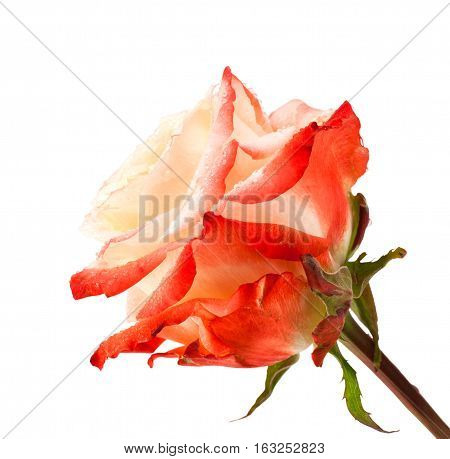 Pink rose close up isolated on white background.  Pink and tea rose flower on white background. Beautiful rose head and water drops.Macro photo of tea rose close up