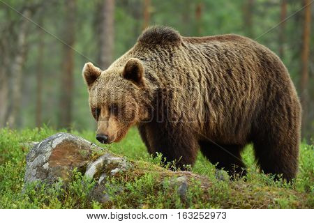 brown bear (ursus arctos) in a deep taiga forest