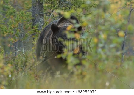 Eye to eye with brown bear. Brown bear peek from behind a bush.