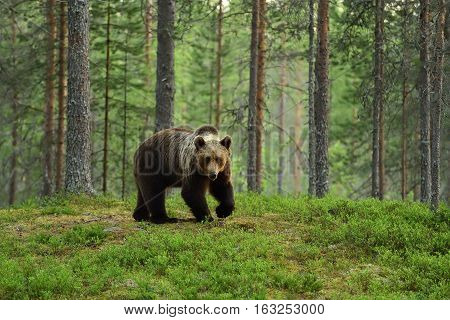 Brown bear in a taiga forest landscape