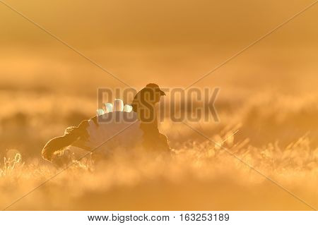 Black Grouse at sunrise in contra light
