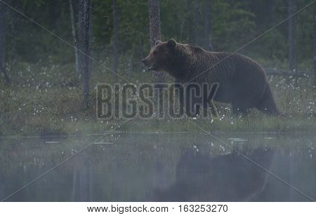 Big brown bear in the mist at twilight with water reflection