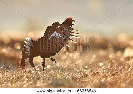 Black grouse jumping. Black grouse flying. Active bird.
