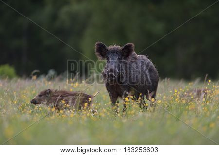 Wild boar sow with piglets. Wild boar family.