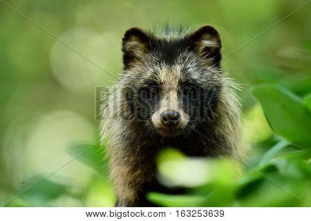 Raccoon dog portrait. Wild animal. Forest wildlife.