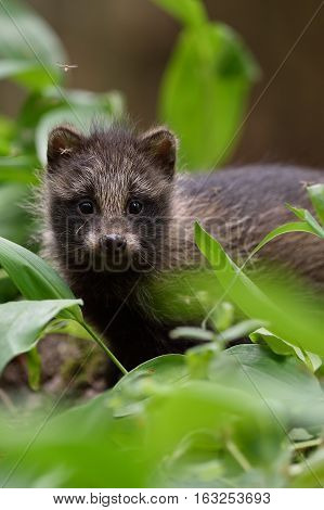 Raccoon dog pup in forest. Baby raccoon dog. Young animal. Baby animal.