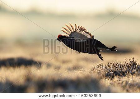 Black grouse flying in bog at spring