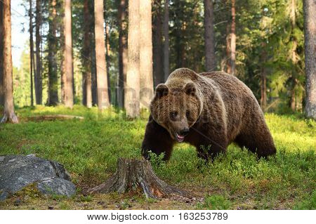 European brown bear walking in summer forest