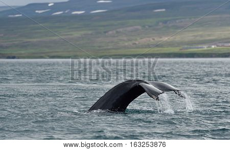 Humpback whale tale in the ocean. Iceland.