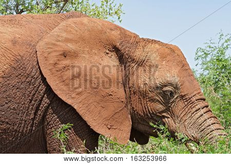 Portrait of an elephant in the Kruger National Park, South Africa
