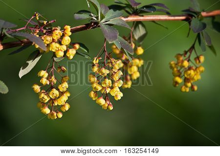 branch of blossoming barberry closeup on a blurred background