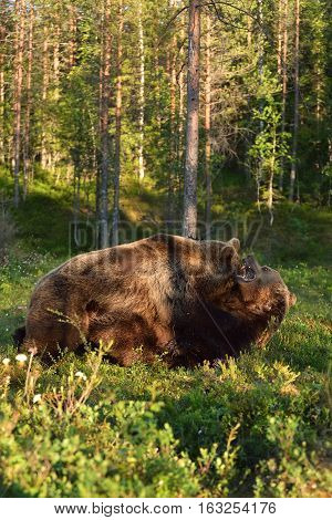Bear fight. Bear wrestling. Bear attack. Animal fight.