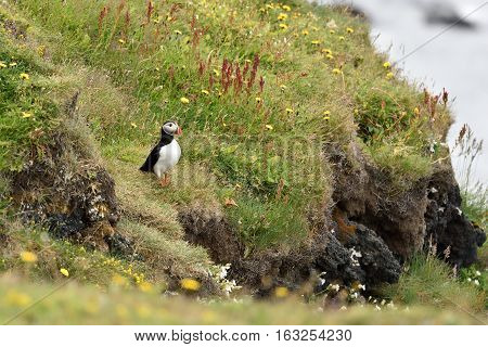 Puffin on the cliff in Iceland at summer.