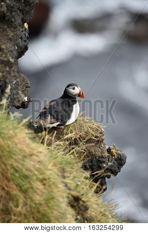 Puffin on a cliff with Atlantic ocean in background