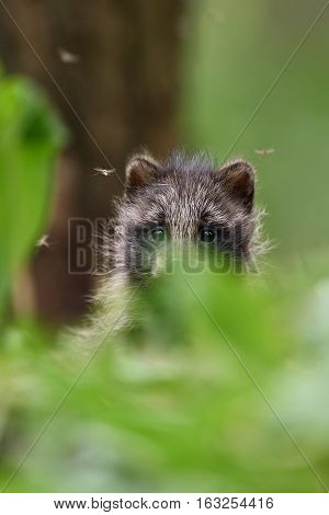 raccoon dog pup. baby animal. forest animal.