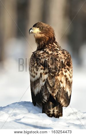 White-tailed Eagle (Haliaeetus albicilla) on snow. Birds of prey. Raptor.