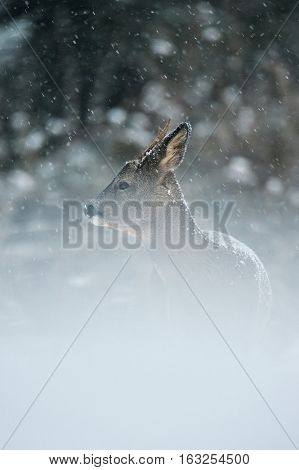 Roe deer standing in a snowfall in winter