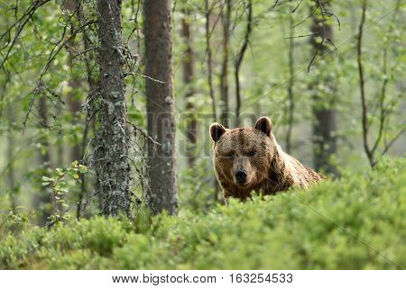 brown bear peeking over the hill in forest
