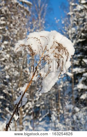 Dry plant covered with snow in winter forest.