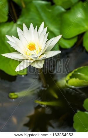 Water lily blooming blurry background in some place.