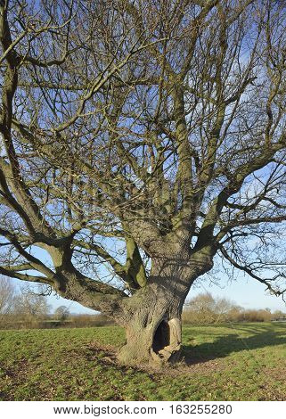 Pedunculate (English) Oak Tree - Quercus robur on banks of the River Severn Deerhurst Gloucestershire