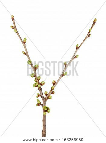 Cherry Twig Furcation