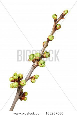 Buds On Cherry Twig