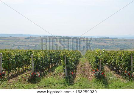 Countryside And Lush Vineyard