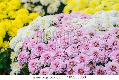 Beautiful Chrysanthemum Flowers Closeup Chrysanthemum for background