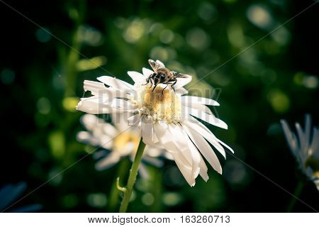 Bee on a daisy collecting nectar. Honeybee gathering pollen from a flower to make honey. Tiny cobweb hanging onto the flower.