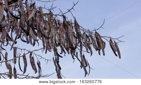 Carob On Tree In Winter