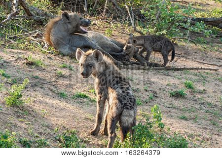 Spotted hyena family (Crocuta crocuta) in Kruger National Park, South Africa