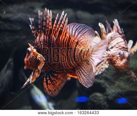 Under water Pterois volitans close up in aquarium.