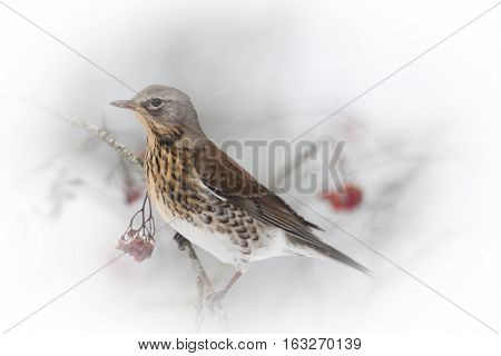 a fieldfare sitting among some rowenberry berries