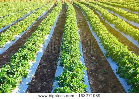 agricultural green field in Thailand. Strawberry garden at winter season.