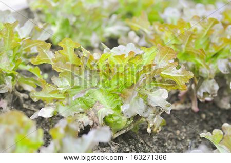 red coral lettuce or lettuce in the vegetable garden