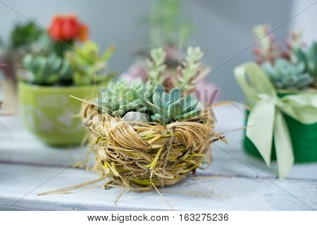 Beautiful miniature succulent bonsai plants and houseplants