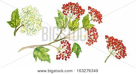Sprig of viburnum with berries and blossoms, isolated set hand painted watercolor illustration