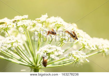 Small brown european bugs making love on white flowers. Denticollis linearis - a click beetle. Summer time nature love