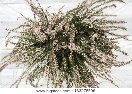 Purple-flowered heathers in a flower-pot on the wooden background. Top view