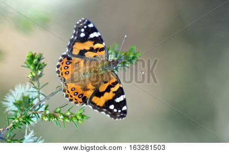 Australian Painted Lady Butterfly, Vanessa kershawi, on a native shrub, Royal National Park, Sydney, Australia