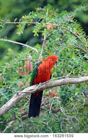 Australian male red and green King parrot, Alisterus scapularis, perched in a tree, Pebbly Beach, Murramarang National Park, New South wales south coast